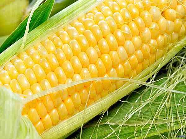 полезные свойства кукурузы для организма человека