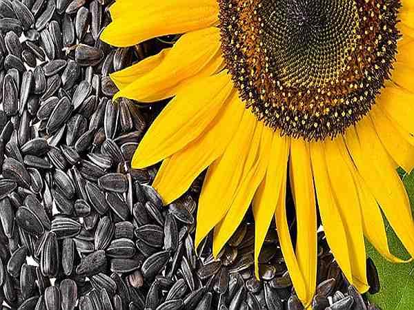 польза семечек подсолнуха