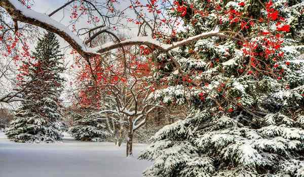 рябина и ели в зимнем лесу